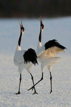 Winging Dance #birds