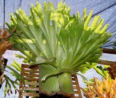 Fern Plant, Trees To Plant, Garden Plants, House Plants, Platycerium, Staghorn Fern, Spiritual Love, Tropical Garden, Horticulture