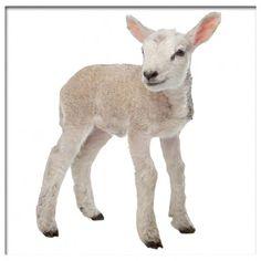 Muursticker lammetje lamb