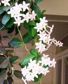 Prized for the wonderfully sweet fragrance of its waxy white flowers which are popular in wedding bouquets. This is one of the most popular vines in the Fall Flowers, Love Flowers, Fresh Flowers, White Flowers, Gardenias, Most Popular Vines, Vertical Green Wall, Wedding Bouquets, Wedding Flowers