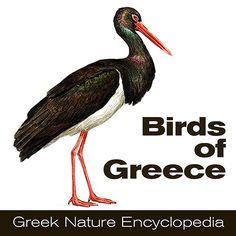 Πουλιά της Ελλάδας Οδηγός αναγνώρισης πουλιών στην Ελλάδα. Προσδιορισμός των πουλιών από τις εικόνες, φωτογραφίες και βίντεο. Πληροφορίες για τα πουλιά της Ελλάδας.