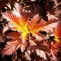 Physocarpus Opulifolius Center Glow Glow, Plants, Shrubs, Planters, Sparkle, Plant, Planting