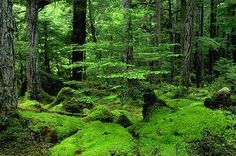 A mossy forest in Alaska.  This type of image is immediately calming to me; in fact when I need to slow my heart rate or meditate, I imagine being in a moss-covered forest, sitting on soft dry moss, surrounded by the plush green trunks, leaves, and mossy stones.  It is a complete image of peace for me.