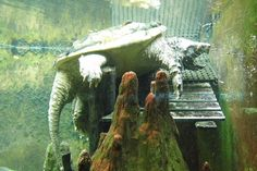 alligator snapping turtle Alligator Snapping Turtle, Reptiles, Lizards, Animal Photography, Painting, Animals, Ponds, Frogs, Art