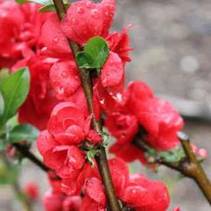 Do a Double Take™ at Chaenomeles! Soft double blooms open early in spring--before the foliage! $22.95