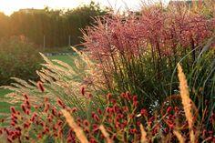 Sanguisorba 'Red Thunder'. Miscanthus sinensis 'Ferner Osten'