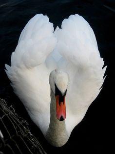 Swan heart-shaped