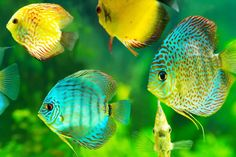 I did this puzzle in Jigsaw Puzzle Collection HD. 440 pieces in Discus Tank, Discus Aquarium, Discus Fish, Home Aquarium, Marine Aquarium, Aquariums, Tropical Freshwater Fish, Tropical Fish, Types Of Fish