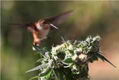 Hummingbirds Feasting On Cannabis