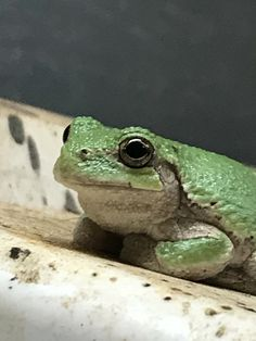Barn frog