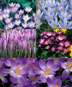 Collection Q: The Crocus Tommasinianus Lawn-of-Dreams - Species Crocus - Naturalizing - Crocus - Flower Bulb Index - Z 4-8