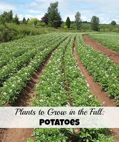 Wondering what to plant in a fall garden? You can grow potatoes!