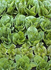 Jericho lettuce - less likely to bolt/heat tolerant. Tim's Square Foot Garden