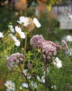 Some Instagram inspiration for you. I'm loving @farlamandchandler 's garden ideas and images. They share Lots of planting inspiration and great design details.  Full post on the blog. #onetofollow ⠀⠀⠀⠀⠀⠀⠀⠀⠀ Image: White Cosmos and Angelica gigas are a gre