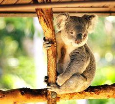 Koalas are so cuten. How Cuddly Are Koalas? Lone Pine Koala Sanctuary, Elephant Sanctuary, Koala Marsupial, Quokka, Animal Habitats, Australian Animals, Cute Funny Animals, Animal Pictures, Fur Babies