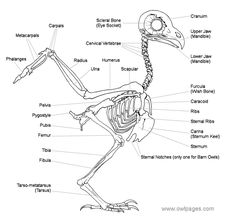 aves skeleton diagram el esqueleto de la paloma - pigeon skeleton diagram | aves ... #11