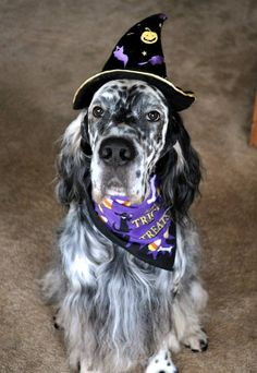 English Setter. N.Brown. Trick or Treat. Thinking treat actually.