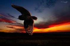 Marsh owl out hunting Bald Eagle, Owls, Hunting, Bird, Sunset, Animals, Beautiful, Animales, Animaux