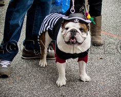 Pirate! - Spooky Pooch Parade, Dog and Puppy Halloween Costumes