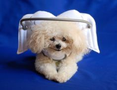 """Blind Dogs Can """"See"""" Again with Muffin's Halo"""