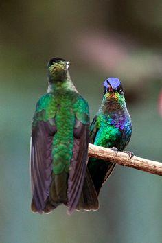 fiery throated hummingbird | Fiery-throated Hummingbird, Paraiso del Quetzal, Costa Rica by Richard ...