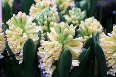 Nyt on taas päästy siihen hetkeen keväässä, että minun pitää päästä kasvihuoneisiin ja puutarhoihin katsomaan vihreyttä ja väriä. Kevät esitteli jo vähän aurinkoa ja lämpöäkin, mutta vetäytyi taas …