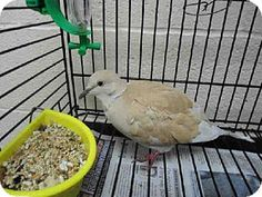 A1469226, a Dove in CA, needs a home now! See her on http://Adopt-a-Pet.com