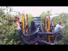 Thu hoạch táo ở Mỹ | Quá trình thu hái trái táo ngọt của nông dân Mỹ