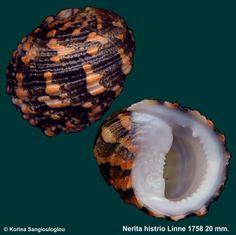 Nerita histrio Linne 1758  -  K.Sangiouloglou