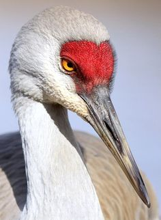 Sand Hill Crane....they are a tall bird! There were 2 of them standing in front of Chili's doors, like body guards! It was amazing!