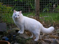 13 Smartest Cat Breed In The World - Tiere in weiss - Katzen / Cat Turkish Angora Cat, Turkish Van Cats, Angora Cats, Flea Shampoo For Cats, Group Of Cats, Animal Gato, Herding Cats, Cat With Blue Eyes, Yellow Eyes