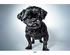 08/20/14 sl ~New York, NY - Shih Tzu Mix. Meet Domino, a dog for adoption. http://www.adoptapet.com/pet/7858075-new-york-new-york-shih-tzu-mix Maurice was found abandoned on the street and is currently under our medical care, where he is receiving treatments for a bad back and some other minor issues. He will require continued therapy for these conditions so someone with an understanding of senior dogs is needed.