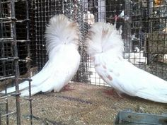 Pigeon jacobin adult pair for sale Bangalore - Dog Buy & Sale Jacobin Pigeon, Pigeons For Sale, Beautiful Birds, Dogs, Pet Dogs, Doggies