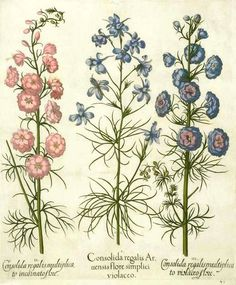 botanical prints of larkspur | Consolida regalis ( Forking Larkspur) from Hortus Eystettensis (Garden ...
