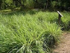 """""""Fresh Lemon Grass Fields In Israel Become Mecca For Cancer Patients"""" A drink with as little as one gram of lemon grass contains enough citral to prompt cancer cells to commit suicide in the test tube according to new Israeli research."""