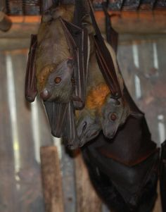 Straw Colored Fruit Bat by BobX327