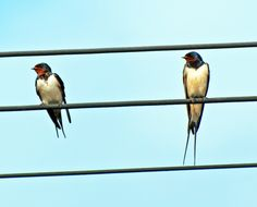 swallows Swallows, Bird, Animals, Animais, Animales, Animaux, Swallow, Birds, Animal