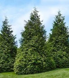 The Thuja Green Giant Arborvitae is a fast-growing privacy tree. Create peaceful solitude in your garden with this beautiful tree. Green Giant Arborvitae, Arborvitae Tree, Emerald Green Arborvitae, Conifer Trees, Evergreen Shrubs, Flowering Trees, Shrubs For Privacy, Privacy Trees, Green Giant Tree