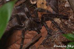 Spider. Amazon rainforest. Ecuador.