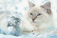 Siamese snow cat