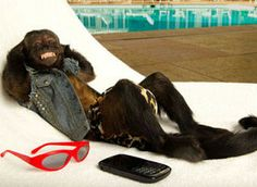 Crystal the Monkey living the dream. Monkey Pictures, Funny Animal Pictures, Pictures To Draw, Funny Photos, Funny Animals, Cute Animals, Canary Birds, Cute Monkey, Monkey Business