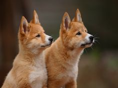 Did you know? Dingoes are naturally shy with a wild and independent nature, behaving more like cats than domestic dogs