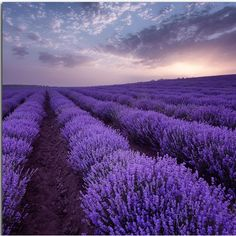 15 Ideas For Nature Color Lavender Fields Lavender Blue, Lavender Fields, Lavender Flowers, Beautiful Flowers, Beautiful Places, Lavander, Valensole, Purple Rain, Champs