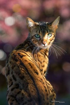 Bengal Cat in the Garden (photo by Andreas Krappweis)
