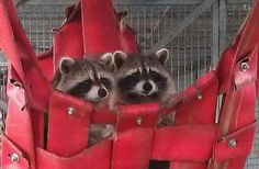 2 raccoons enjoying each others company at our mammal department. Photo: Linda Roossien (caregiver) http://www.aap.nl/zoogdierafdeling.html