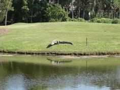 nosey gator watching the golfers!! Hilton Head Island, SC