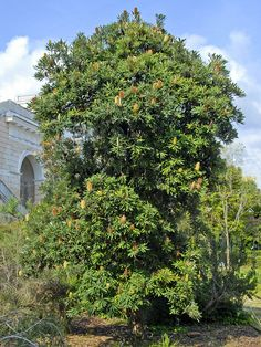 Banksia serrata - Wikipedia Australian Garden, Flora, Around The Worlds, Country Roads, Explore, Plants, Bugs, House, Home