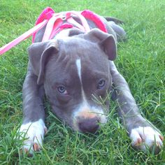 Blue pit bull puppy (: