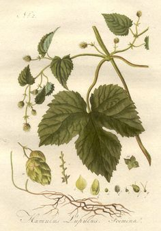 Google Image Result for http://www.cherrygal.com/images/Humulus1.jpg