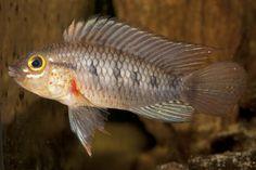 Apistogramma cinilabra  © Uwe Rîmer / WWF España - Científicos descubren más de 400 nuevas especies en la inmensidad del Amazonas